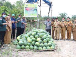 Program PDRP/PK : Dinas Ketahanan Pangan Propinsi Jambi Hadiri Panen Semangka, Timun dan Kacang