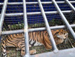 Harimau Yang Meresahkan Warga Dusun Baru Air Batu Akhirnya Dapat Di Evakuasi