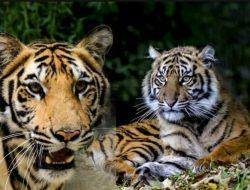 Dua Ekor Harimau Di Temukan Warga Berkeliaran (Rantau Suli) Jangkat Timur